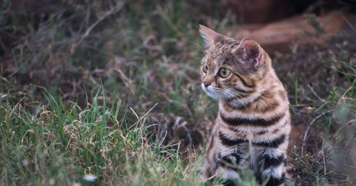 Черноногая кошка: образ жизни и среда обитания, отличительные особенности, содержание в неволе