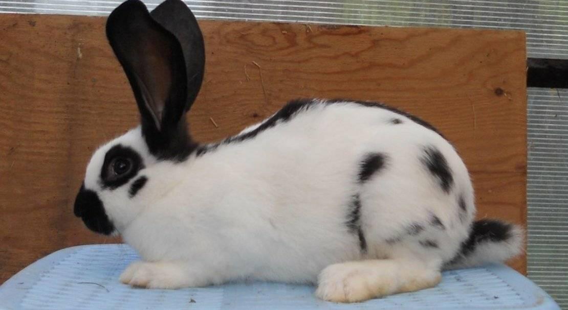 Кролики строкачи: внешние данные, выбор, уход и размножение