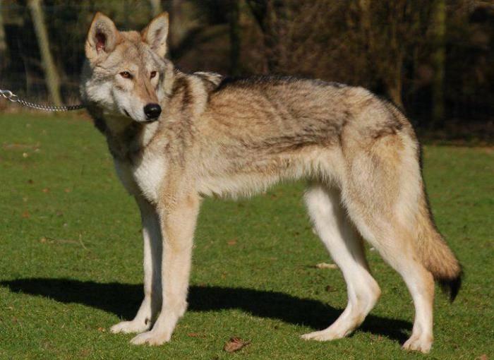 Лисособ: возможен ли метис собаки и лисицы