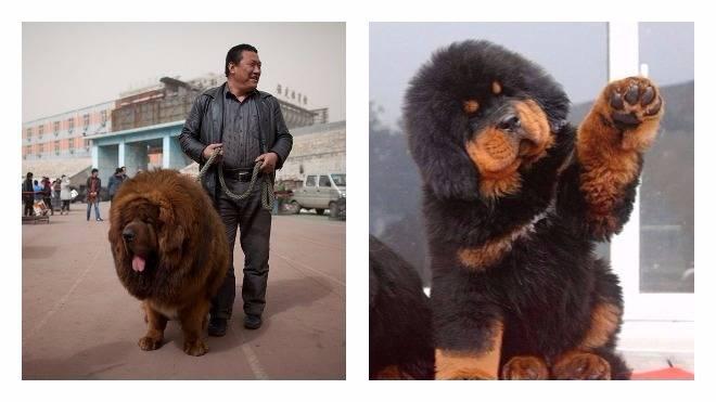 Вес и рост тибетского мастифа