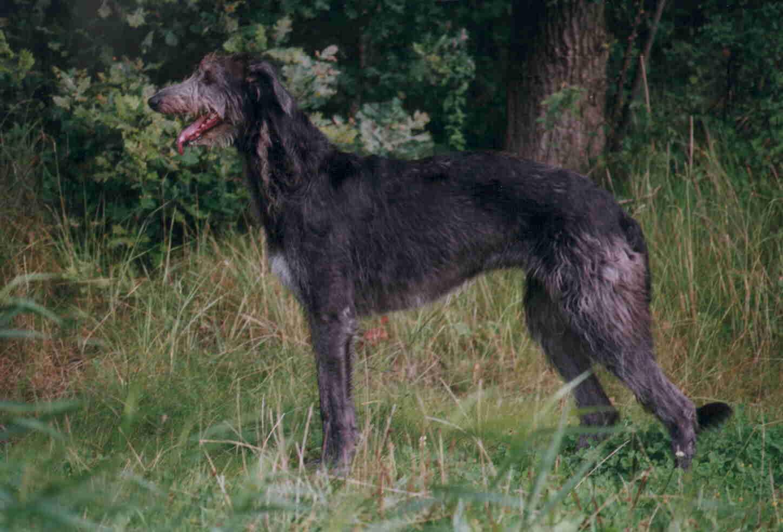 Шотландский дирхаунд — описание породы, характеристика, уход, фото шотландской оленьей борзой и многое другое