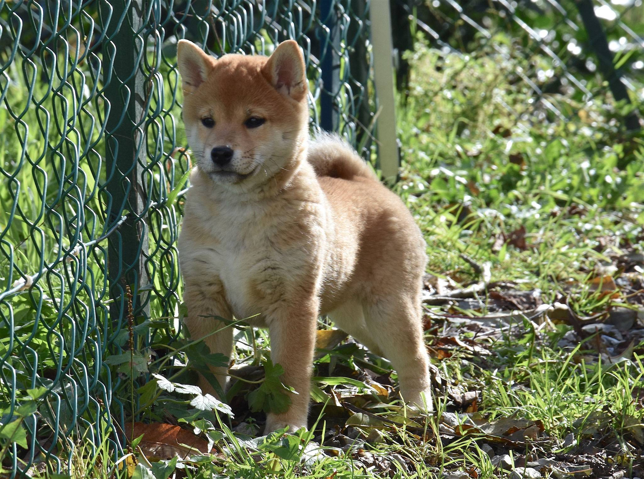 Сикоку (порода собак) — википедия