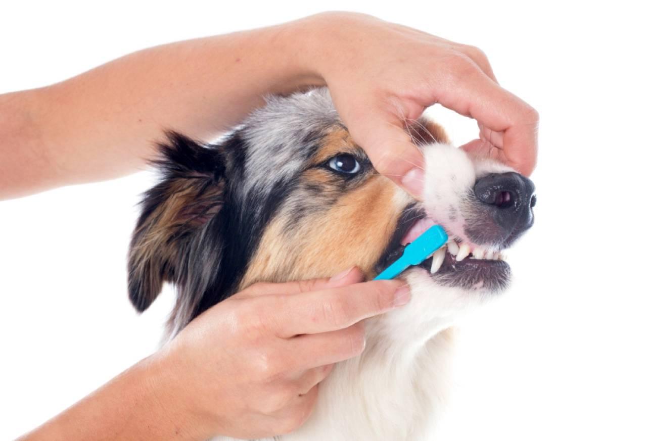 Как правильно чистить зубы собаке в домашних условиях | petguru