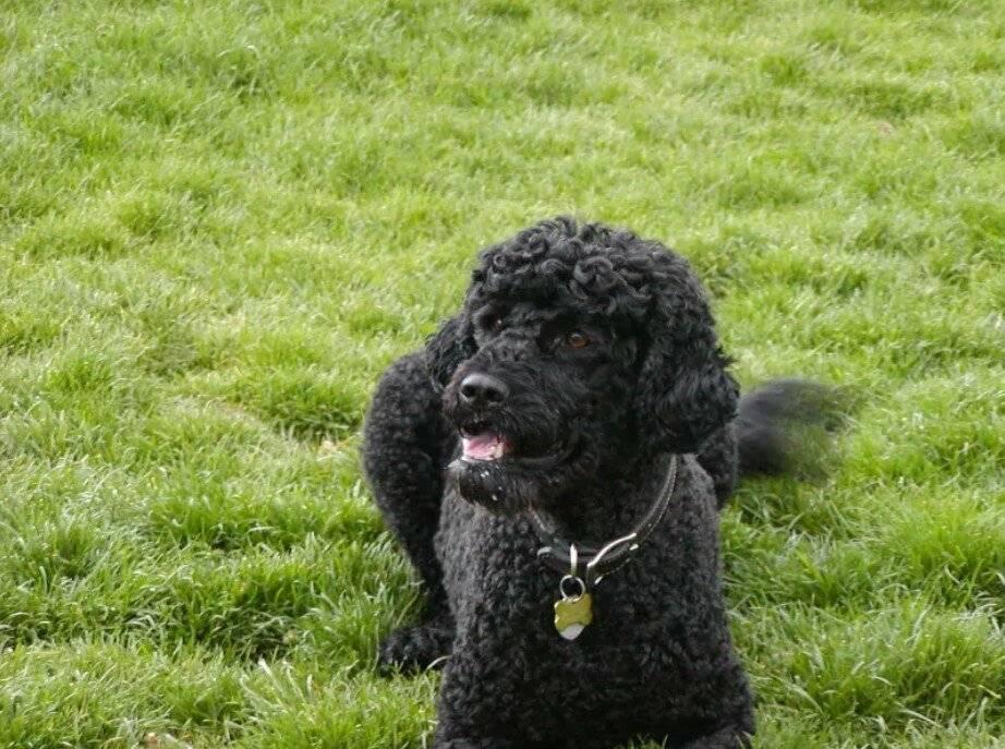 Португальская водяная собака — описание породы, нюансы ухода и воспитания собаки. описание породы португальская водяная собака: характер, уход, предназначение