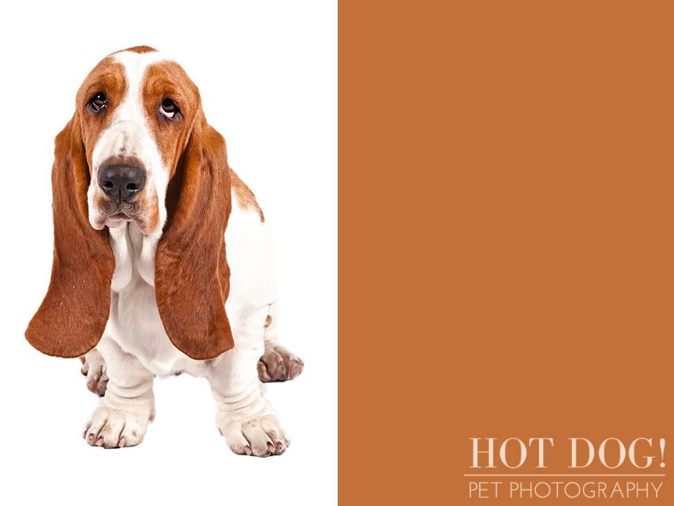 Бассет-хаунд: фото, описание породы, цена, уход и содержание