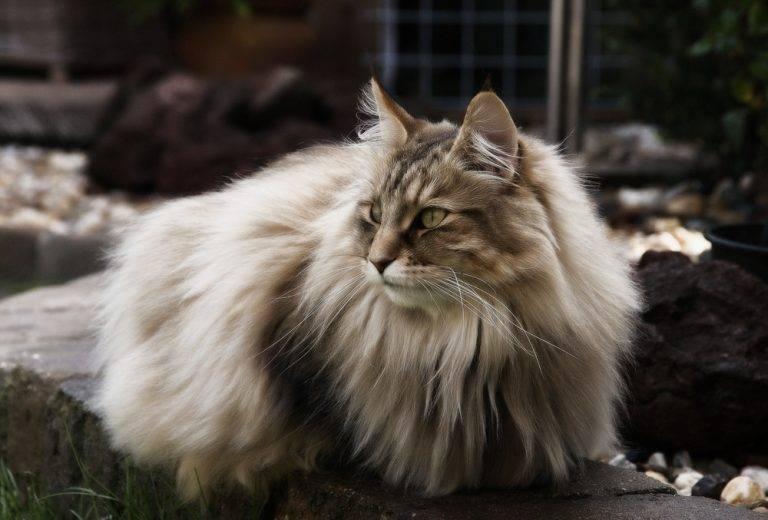 Самые умные породы кошек в мире: топ 10 с фото и названиями