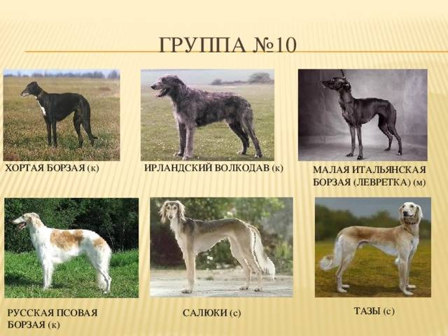 Русская псовая борзая: характеристика, темперамент, основы ухода