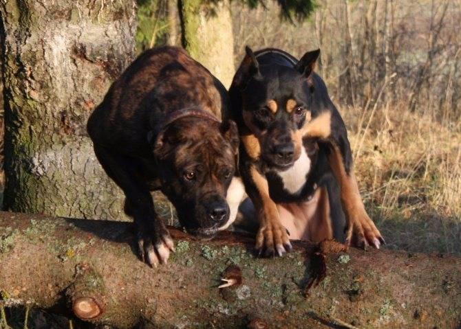 Порода собак испанский алано: описание породы, характер, содержание, фото