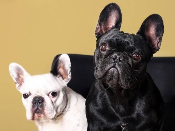 Все о породе палевый французский бульдог: оттенки, характер и другие особенности животного