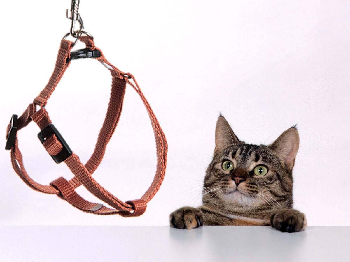 Поводок для кошки — виды шлеек, правильно шьем и одеваем поводки. 120 фото и видео пошаговой инструкции как приучить кошку к поводку