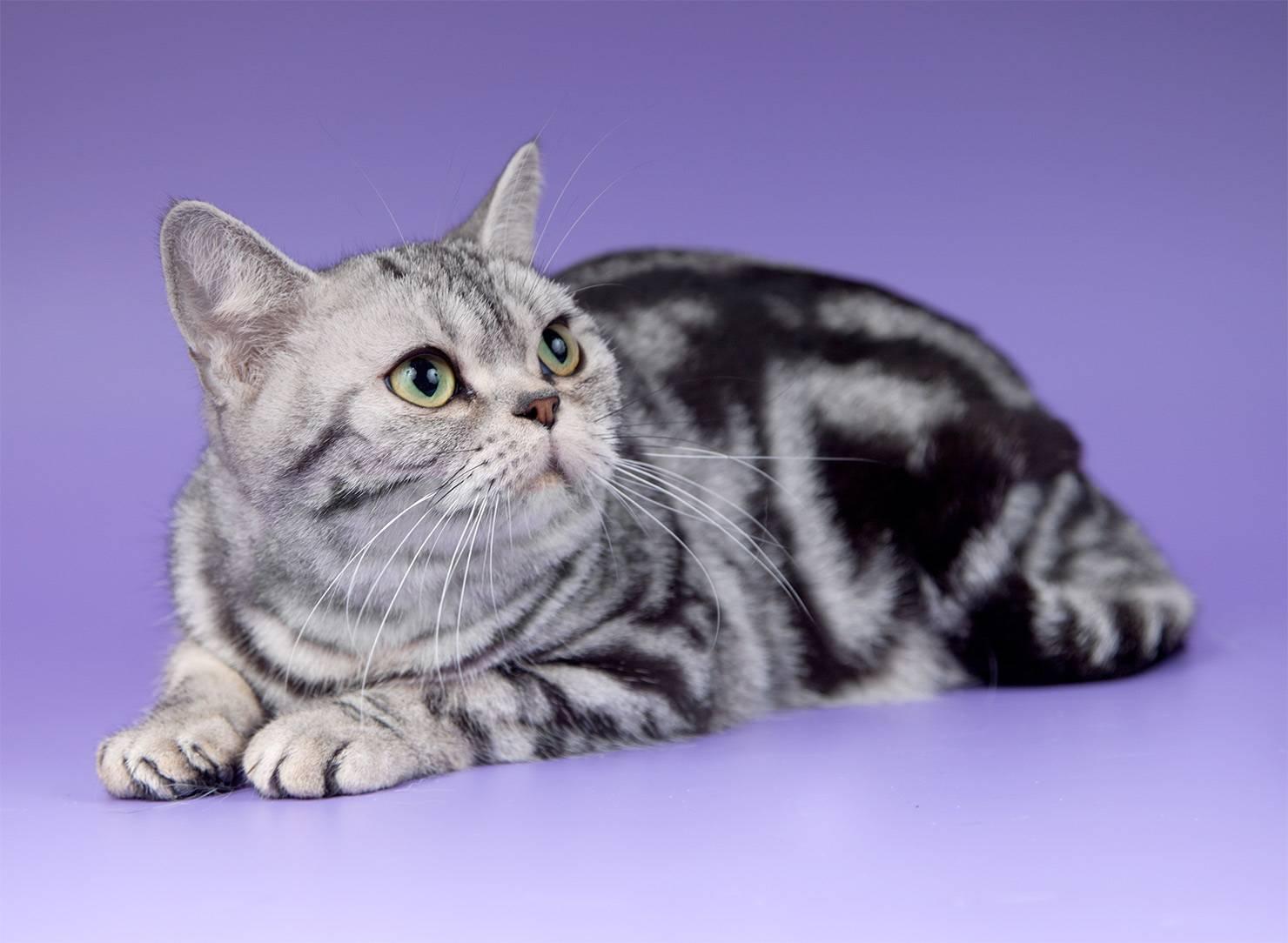Короткошерстные кошки: популярные породы, распространение и особенности