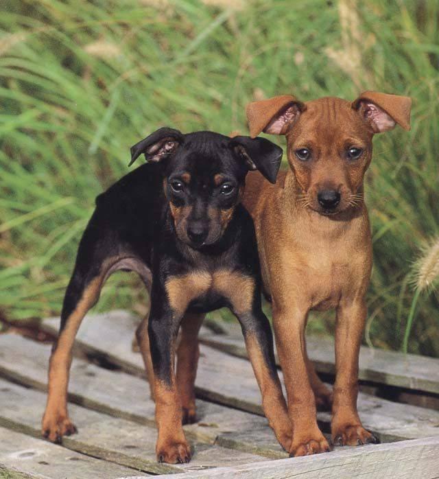 Немецкий пинчер описание породы собак, фото и видео материалы, отзывы о породе