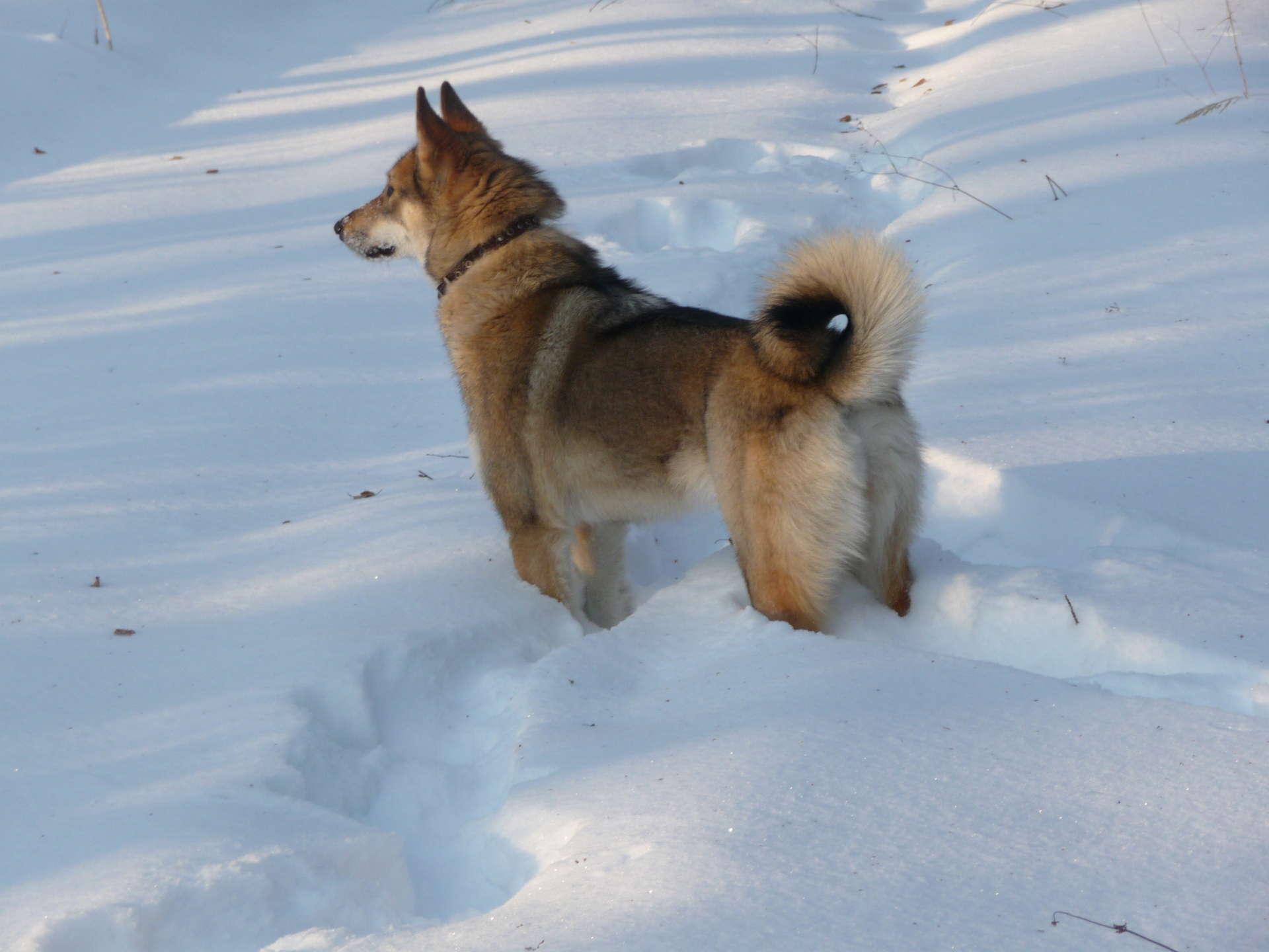 Западно-сибирская лайка: история, описание породы, стандарт, характер собаки, фото, цена
