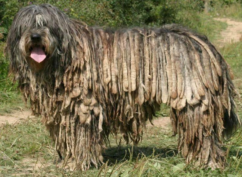 Бергамская овчарка: особенности породы, воспитания и содержания