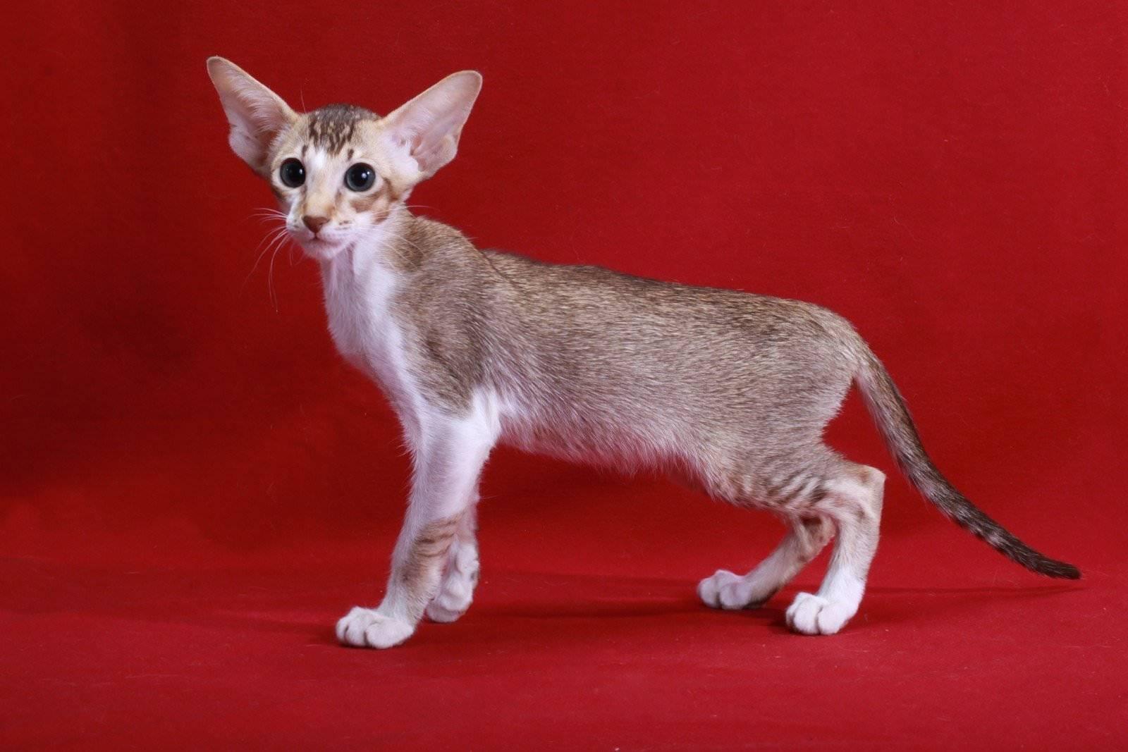 Тайская кошка: все о кошке, фото, описание породы, характер, цена