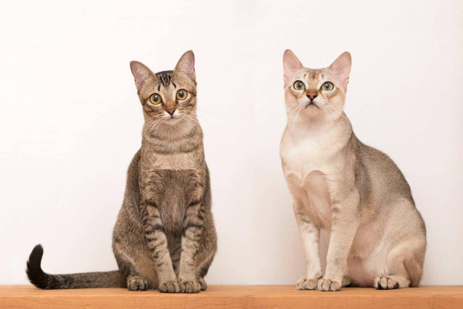 Сингапурские кошки: описание породы, характер, здоровье