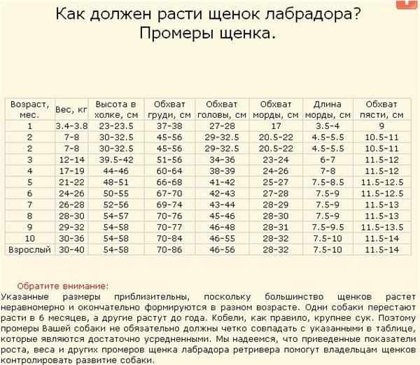 Вес лабрадора по месяцам, фото и видео щенков с 1 недели по 12 месяц.