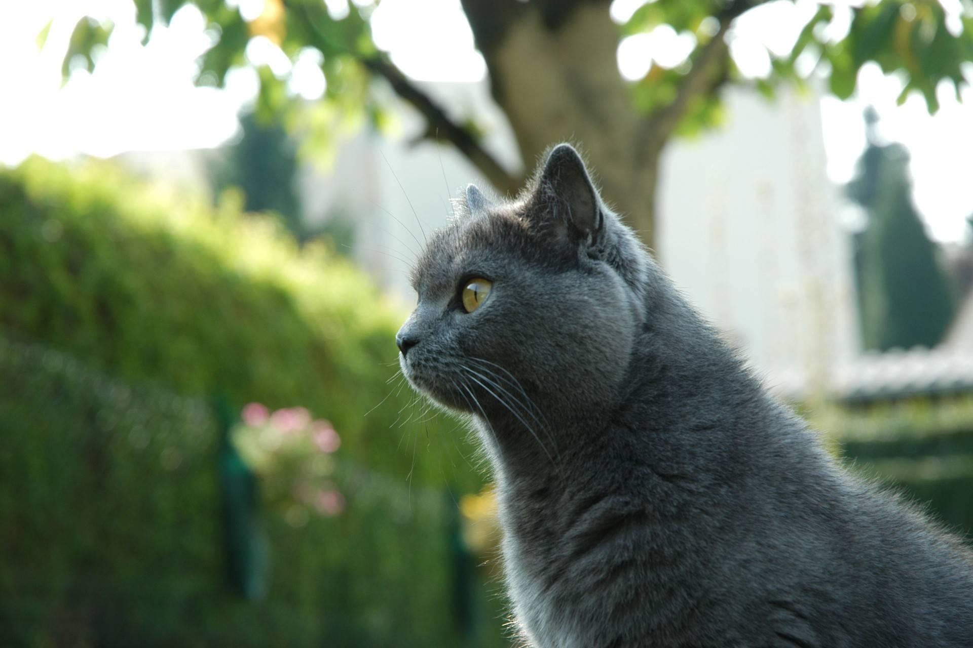 Картезианская кошка или шартрез: описание породы, внешность, характер, цена, где купить  - mimer.ru