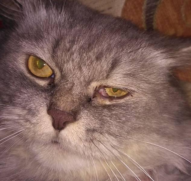 Причины гнойных выделений из глаз у кошки