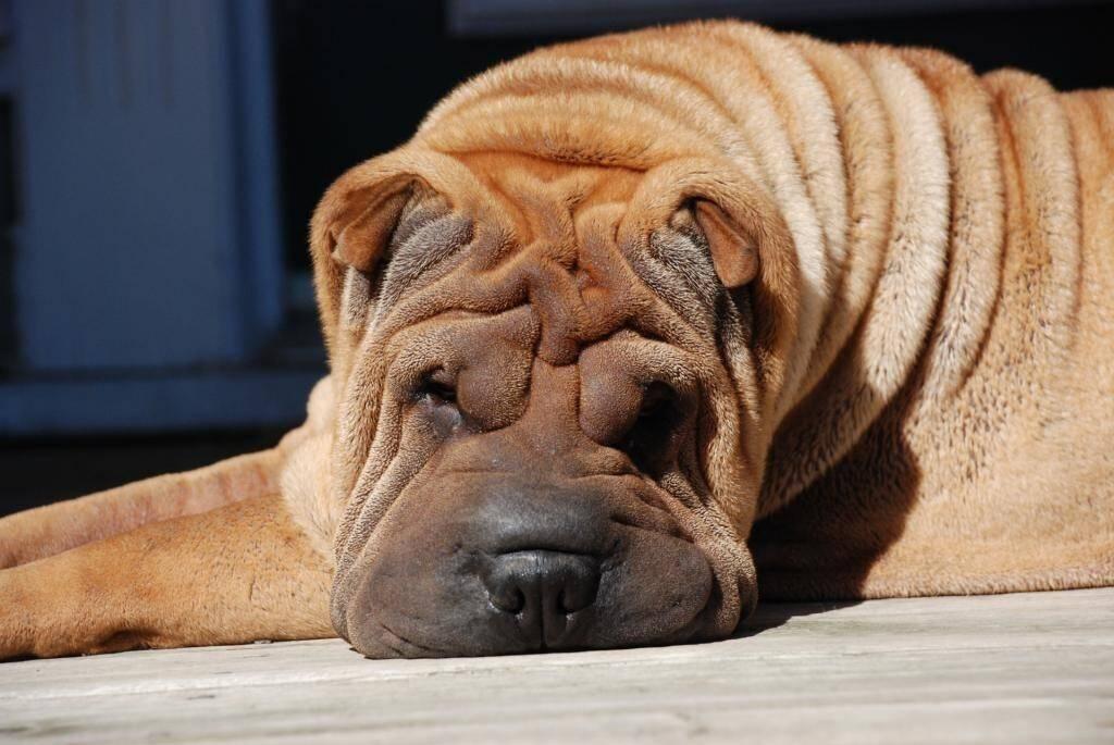 Как называются морщинистые собаки