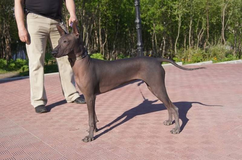 Порода ксолоитцкуинтли (мексиканская лысая собака)