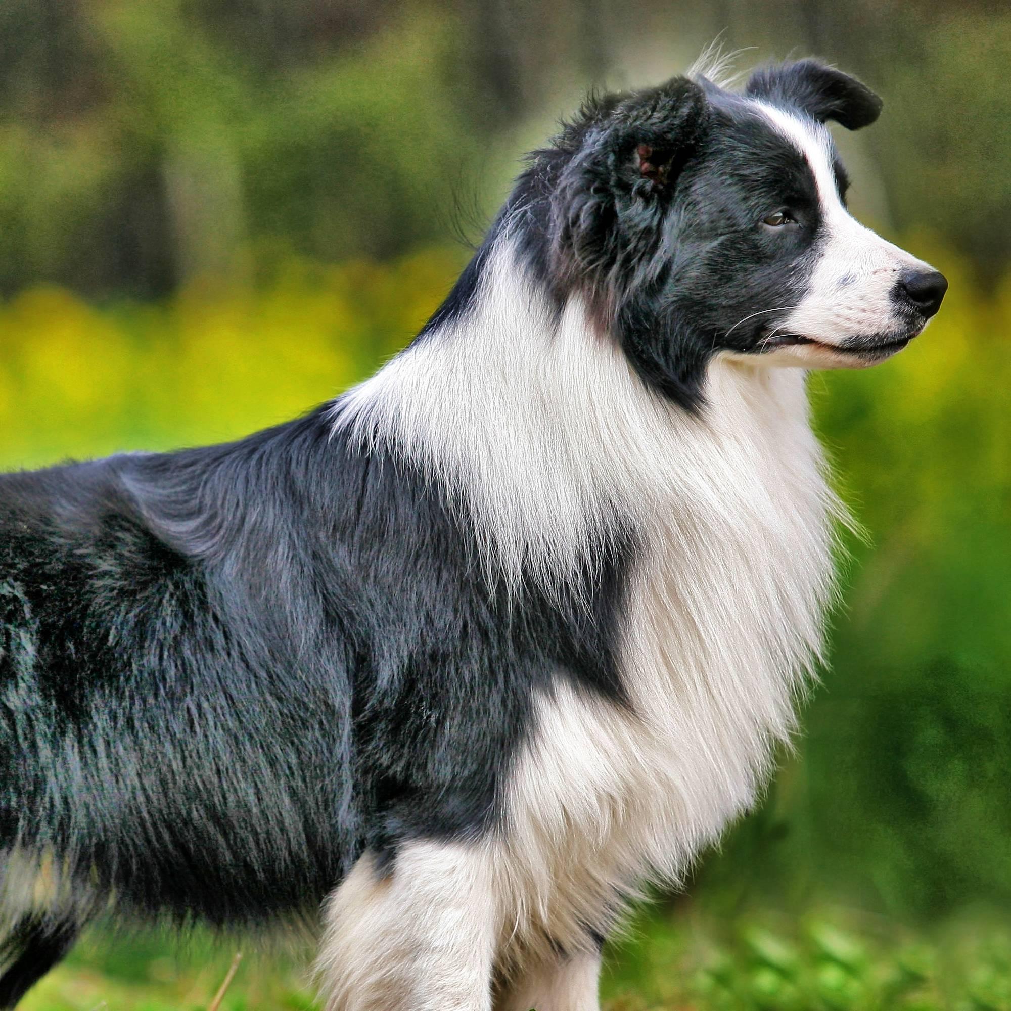 Лучшие собаки-пастухи — 20 пород и их применение