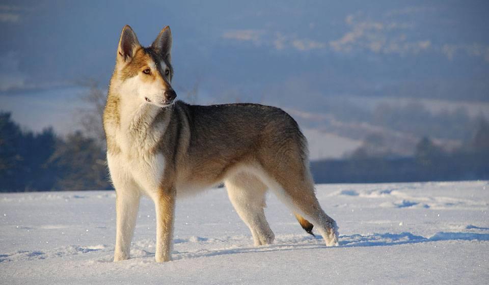 Характеристика собак породы волчья собака сарлоса с отзывами и фото