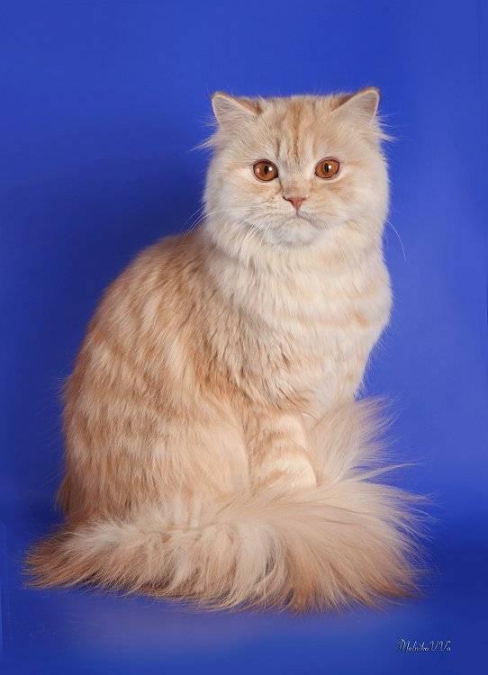 Хайленд страйт - замечательная шотландская кошка
