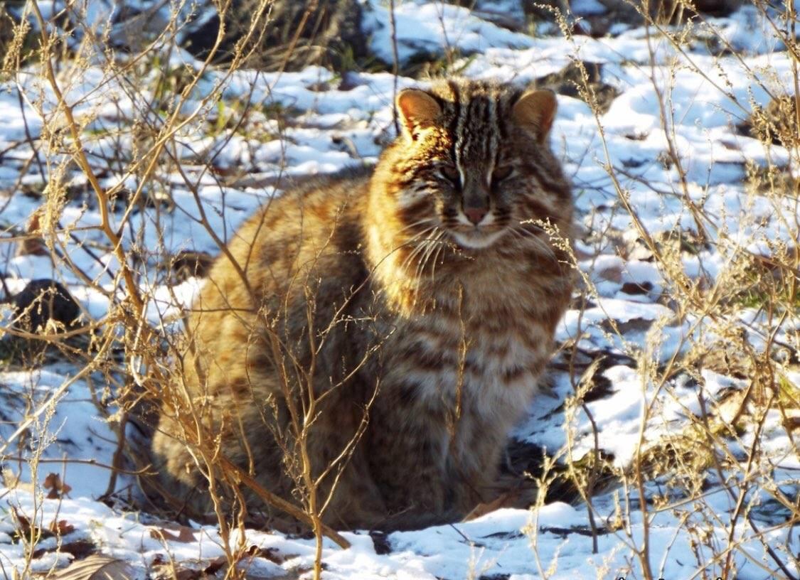 Амурский лесной кот: внешний вид, повадки, среда обитания животного