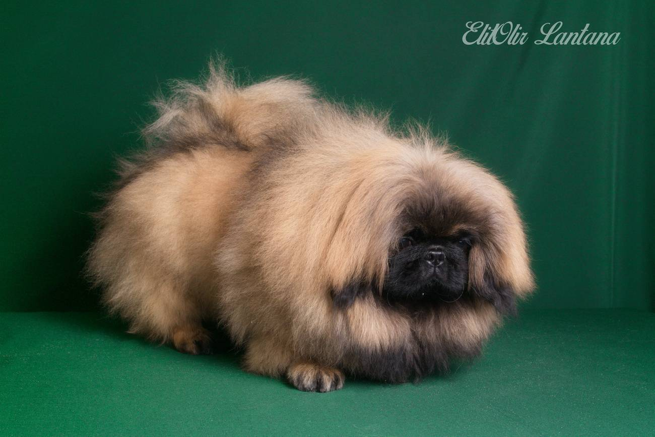 Пекинесы (89 фото): характеристика породы собак. как выглядят щенки? описание характера маленьких собак, отзывы владельцев