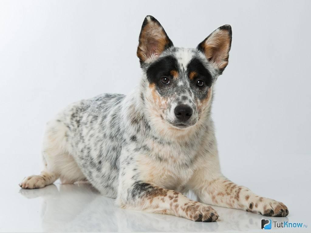 Австралийская пастушья собака: описание породы, фото, видео