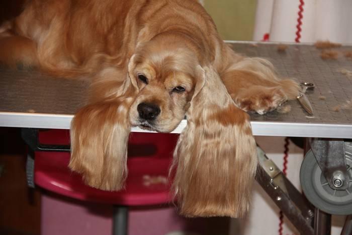 Уход и кормление английского кокер-спаниеля — все собаки тут
