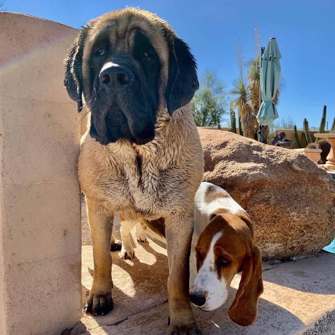 Английский мастиф: описание породы собак с фото и видео