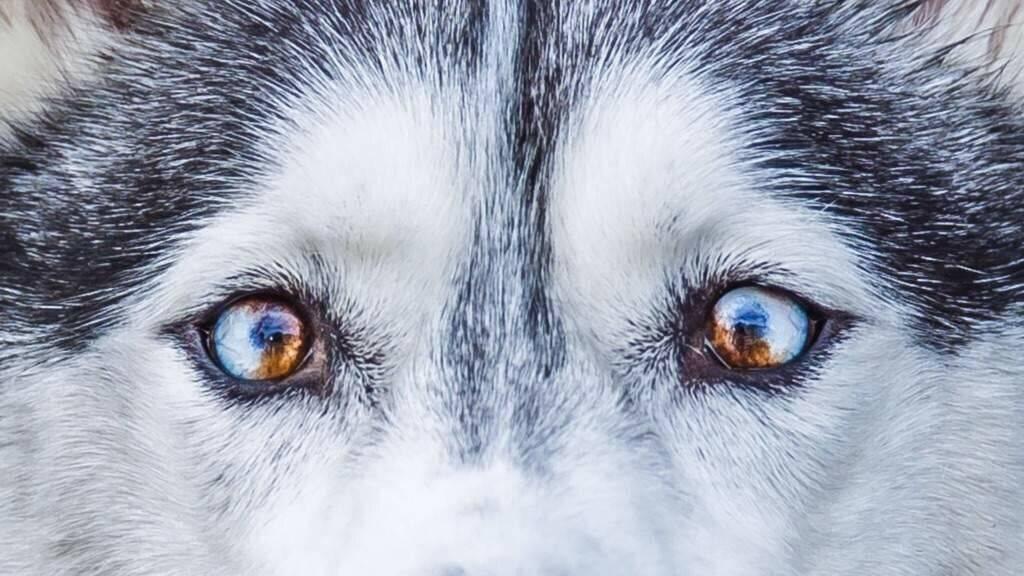 Глаза хаски (21 фото): карие, зеленые и другие цвета глаз. меняется ли цвет глаз у чистокровных хаски с возрастом?