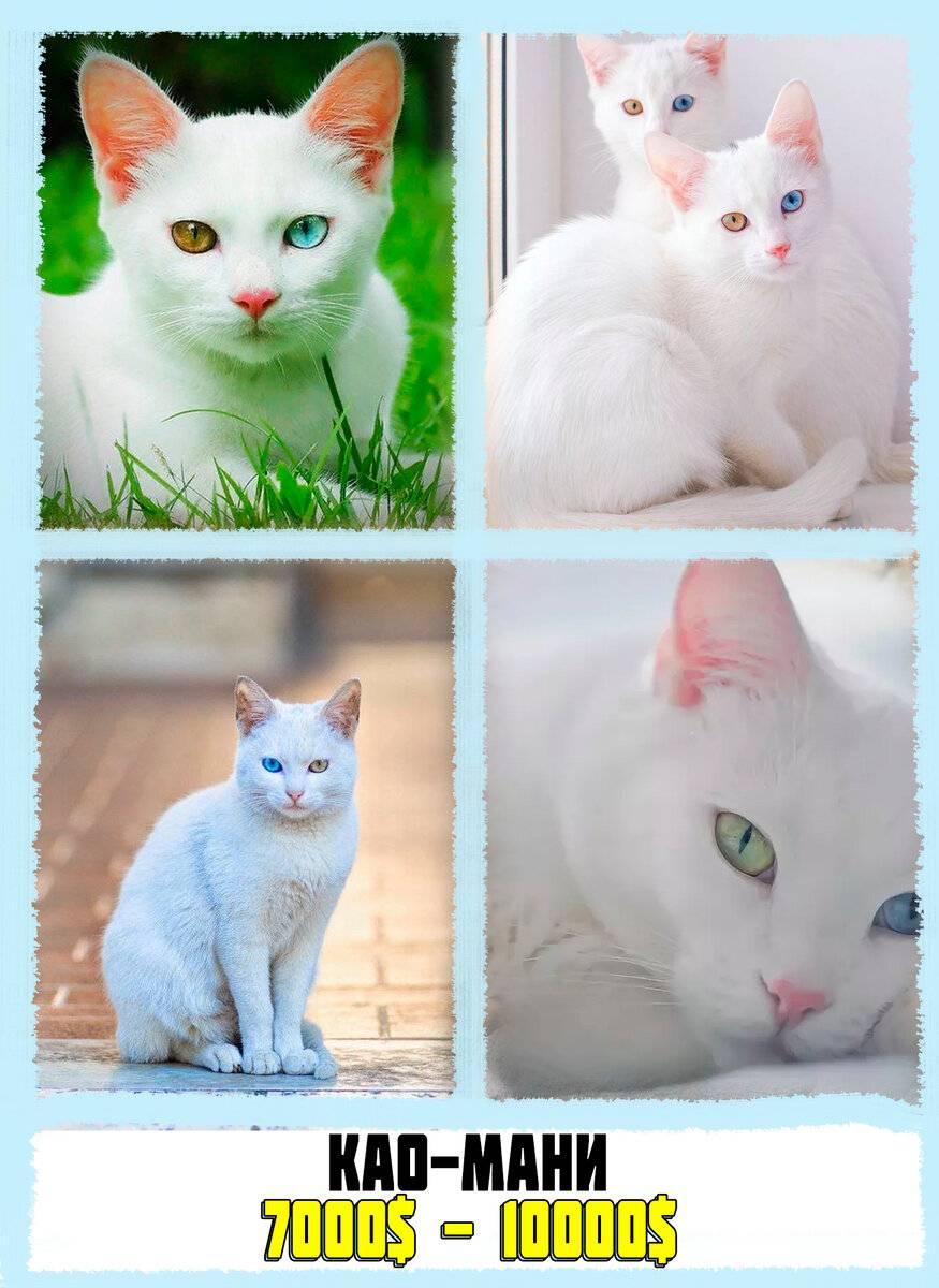 Кошка као мани: описание, характер, советы по содержанию и уходу, фото