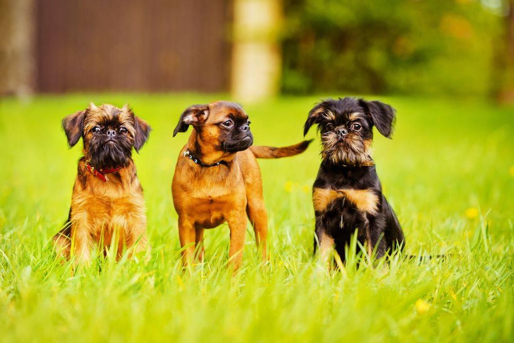Брюссельский гриффон - 77 фото декоративной собаки из бельгии