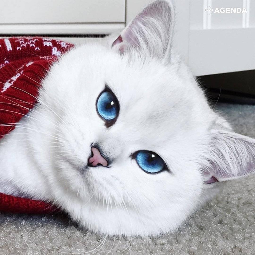 Кот коби (23 фото): особенности породы, характер кошек с голубыми глазами. содержание котят