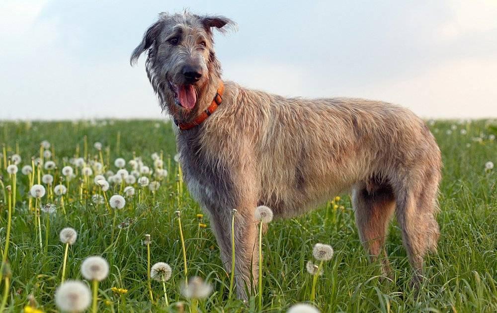 Ирландский волкодав: описание, фото, характер, особенности содержания и ухода за породой