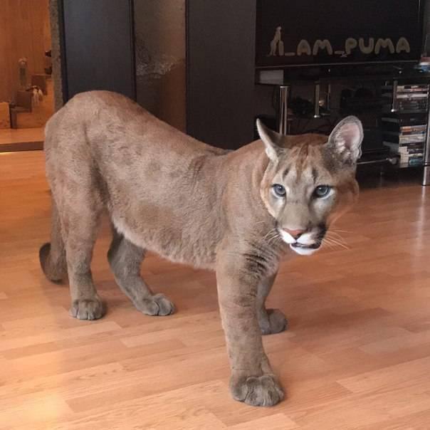 Пума: фото пумы или кугуара. животное пума: фотографии кошки.