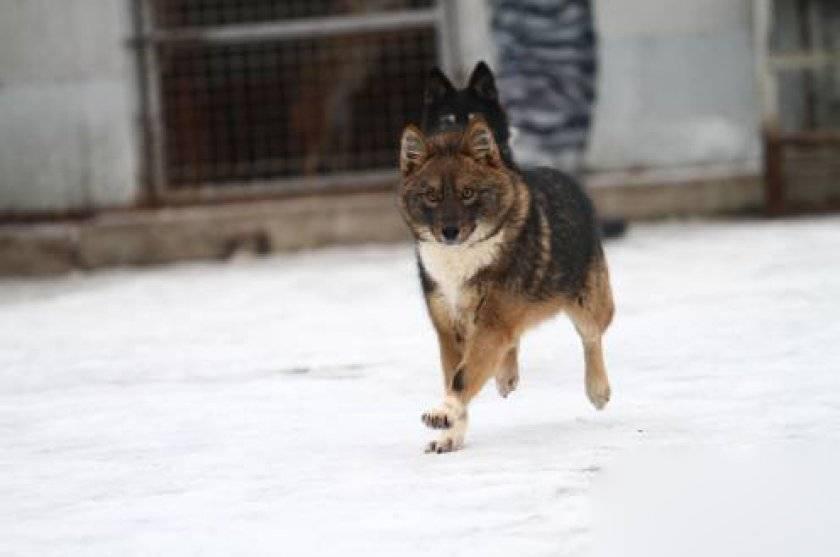 Якутская лайка: все о собаке, фото, описание породы, характер, цена
