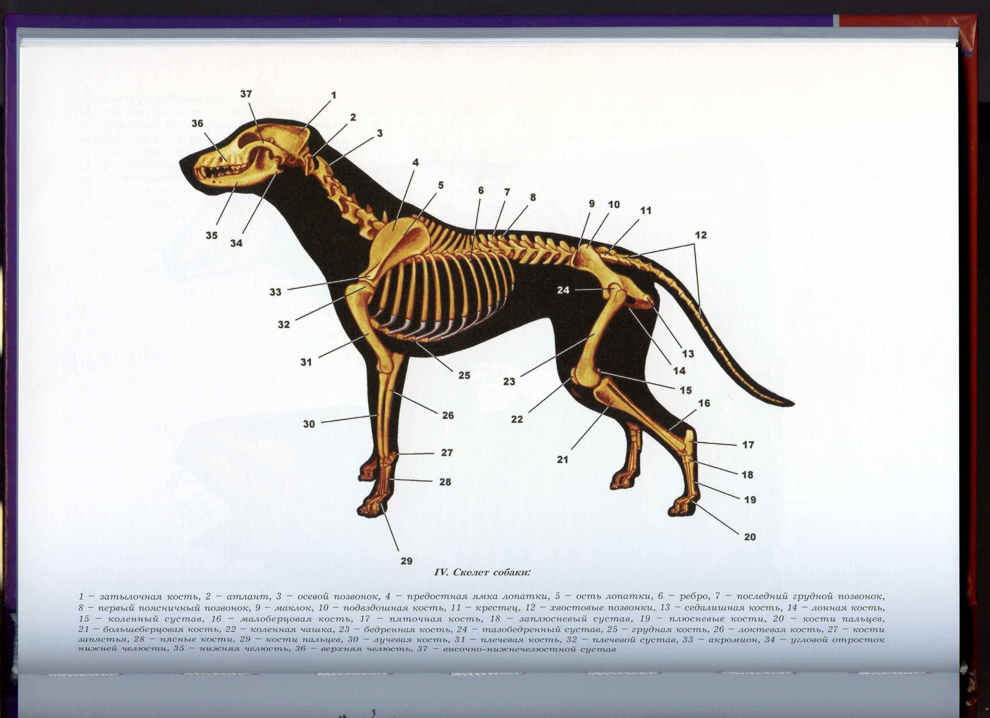 Все, что нужно знать владельцу об анатомии собаки