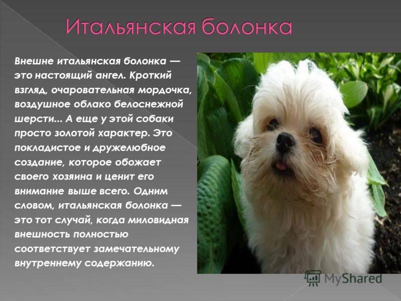 Русская цветная болонка: описание породы, фото, отзывы