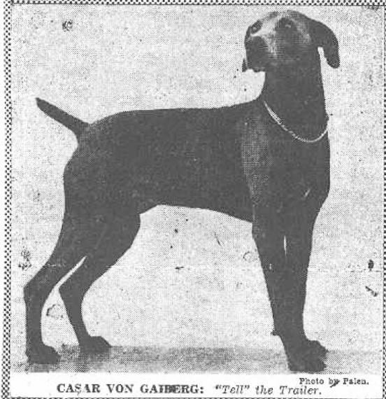 Веймаранер - описание породы и характер собаки