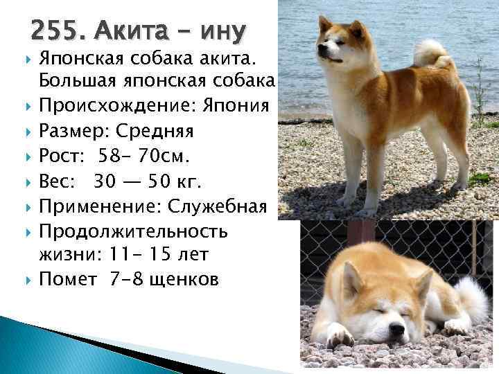 История хатико: преданность пса, которая пронесена через года
