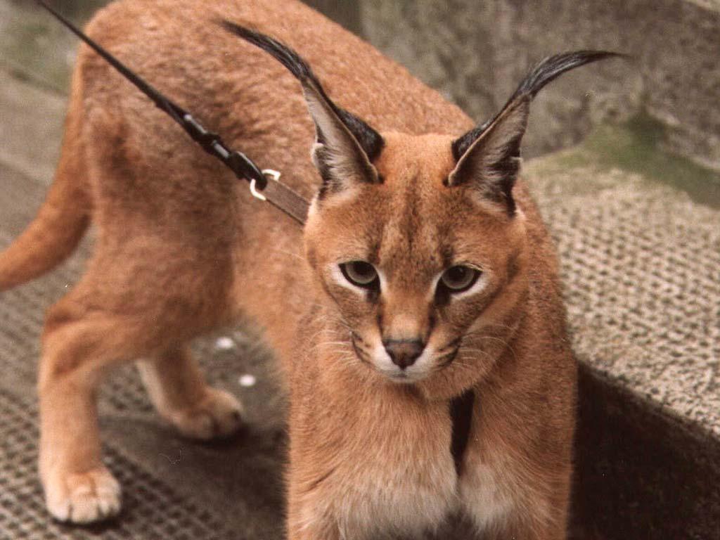Кошка рысь - порода, кошка похожая на рысь с кисточками на ушах