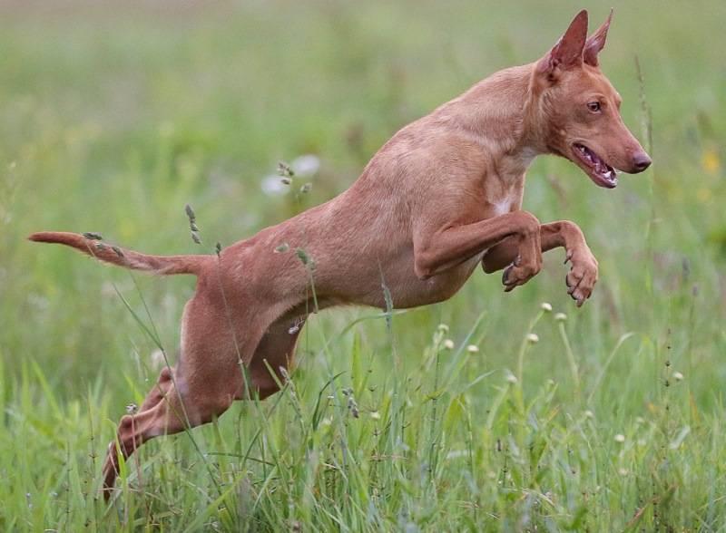 Чирнеко дель этна (сицилийская борзая) — фото и описание породы собак