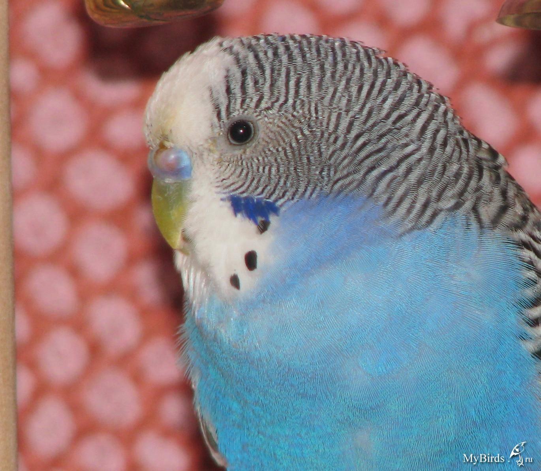Как научить попугая говорить? | многоточка