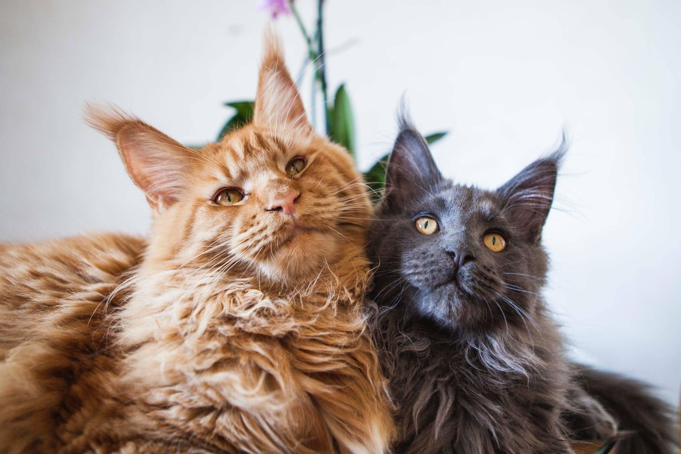 Котята мейн-куна: как растить и ухаживать