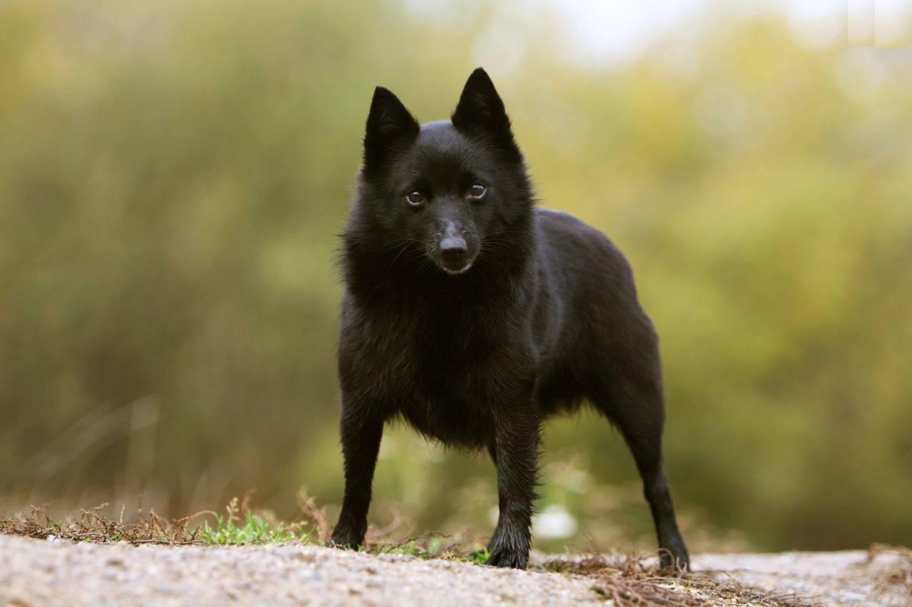 Шипперке (схипперке): описание породы собак с фото и видео