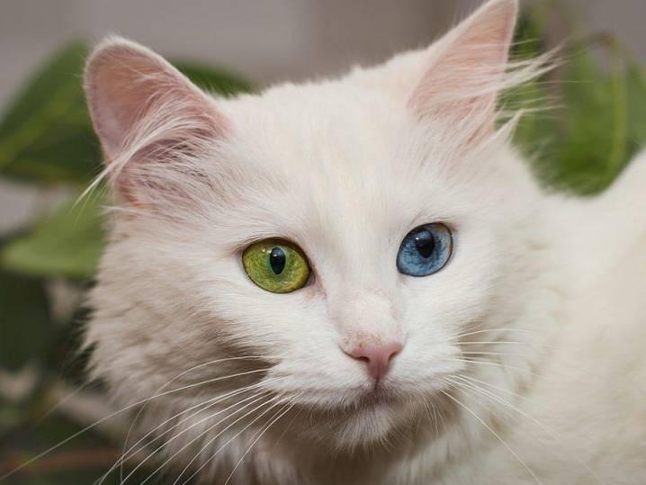 Белая кошка с голубыми глазами — обзор пород